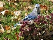 Blue Jay among fall colour