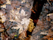 Leaf mosaic submerged in spring melt water in MacGregor Point Prov. Park