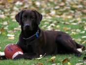 Can we play football please? / my chocolate lab (Fraser) with his football