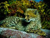 cheetah pup-2.jpg