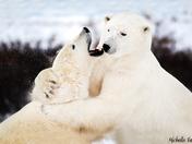 Sparing polar bears