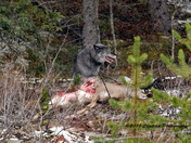 Bow Valley Wolf PAck on deer kill