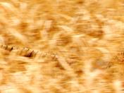 a pheasant rush