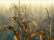 Misty Corn