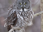 Lorenz - Great Gray Owl.jpg