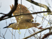 Black Crowned Night Heron takes flight
