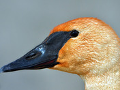 Trumpeter Swan close-up