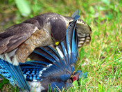 Sharp Shinned Hawk Kills Blue Jay