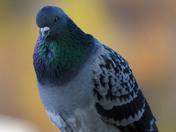 Rock Pigeon Posing