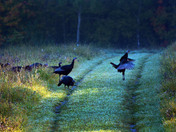 Wild turkeys crossing the road