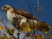 Red Tailed Hawked Perched above