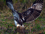 Red Tailed Hawk Vs Snake