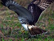 Red Tailed Hawk Vs garden Snake