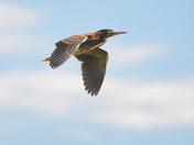 Green Heron Flight