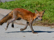 A Mangy Red Fox