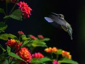 Hummingbird feed at the Lantana Flower