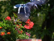 Blue Jay circles to land on the peanut can