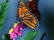 Monarch Butterfly feeding on a Lantana Plant
