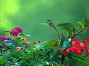 Hummingbird in feeding the flowers