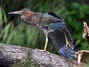 Green Heron Stretching