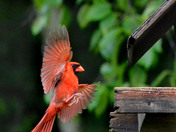 Northern Cardinal coming in for a landing
