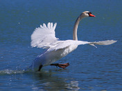 Moon walking Mute Swan