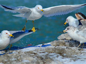 Seagulls feeding frenzy