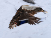 Mallard in flight with a free meal
