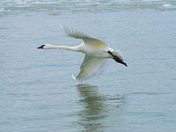Trumpeter Swan in a slow speed turn