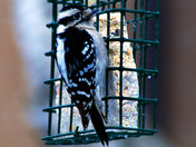 Hairy Woodpecker Enjoying a meal