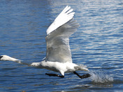Trumpeter Swan in full run mode