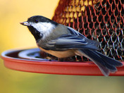 Black Capped chickadee taking a meal