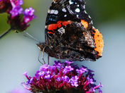 Red Admira, Butterfly