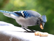 One Ugly Blue Jay