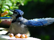 Blue Jay tossing them back
