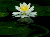 Water lilly open