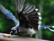 Blue Jay taking the bait