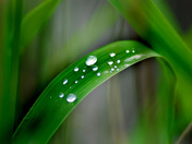Water droplets on a reed leaf