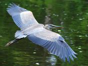 Heron flight 10.jpg