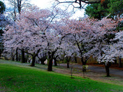 Japanese Sakura Cherry tree blossoms