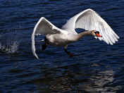 Mute Swan Running on water