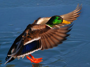 Male Mallard about to land