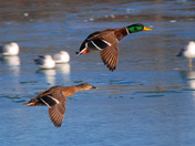 Male & Female Mallard on final approach