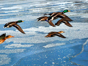Mallards over ice.jpg