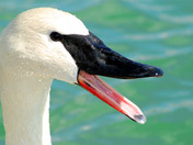 Close-up Trumpeter Swan