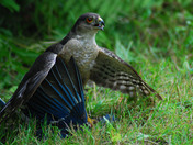 Sharp Shinned Hawk preparing to have a Blue Jay for dinner