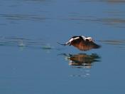 Longtail Duck taking flight