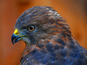 Broad Tailed Hawk