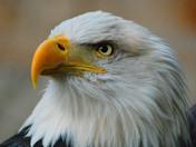 Bald Eagle  Mountsburg Conservation Area