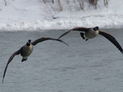 2 Canadian Geese gliding in to land